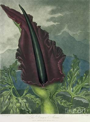 The Dragon Arum Poster by Peter Charles Henderson
