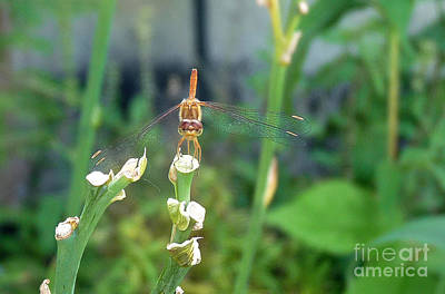 The Emo Dragonfly Poster by Deborah Smolinske