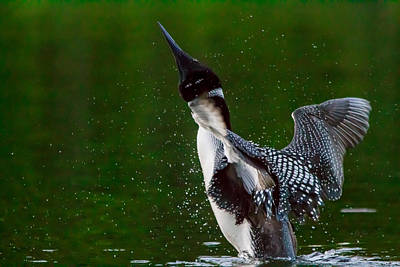 The Ever Elusive Loon Coming Out Of Dive Poster by Eti Reid