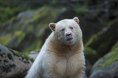 The Kermode Or Spirit Bear Poster by Bill Cubitt