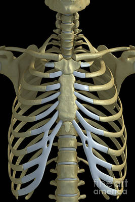 The Rib Cage Poster by Science Picture Co