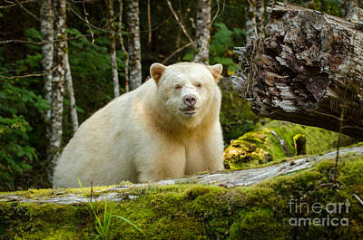The Spirit Bear Poster by Melody Watson