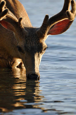 Thirsty Deer In Lake Mcdonald Poster by Bruce Gourley
