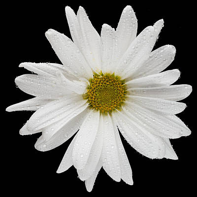 This White Daisy Poster by Steve Gadomski