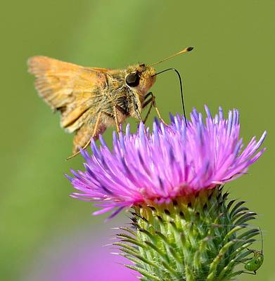 Thistle Feeder Poster by Todd Hostetter
