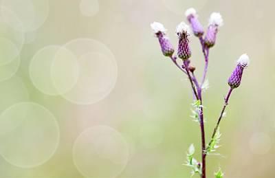Thistle Flowers Poster by Wladimir Bulgar