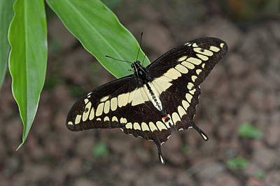 Thoas Swallowtail Butterfly, Papilio Poster by Thomas Wiewandt