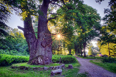 Thousand Year Old Oak In The Morning Sun Poster by EXparte SE
