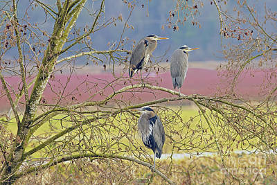 Three Herons 2 Poster by Sharon Talson