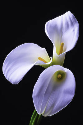 Three Soft Calla Lilies Poster by Garry Gay