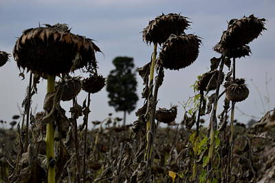 Three Sunflowers Poster by Daniele Fedi
