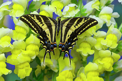 Three-tailed Tiger Swallowtail Poster by Darrell Gulin