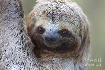 Three-toed Sloth Poster by BG Thomson