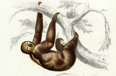Three-toed Sloth Poster by Collection Abecasis