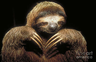 Three Toed Sloth Poster by Explorer