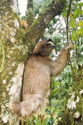 Three-toed Sloth Poster by M. Watson