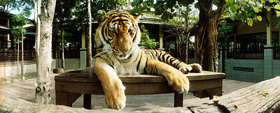 Tiger Panthera Tigris In A Tiger Poster by Panoramic Images