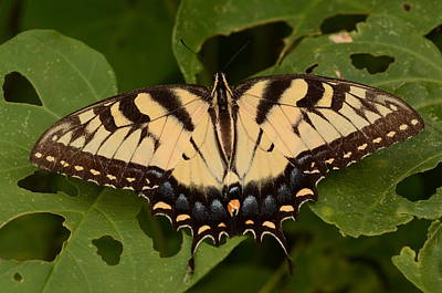 Tiger Swallowtail Butterfly Poster by John Cawthron