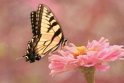 Tiger Swallowtail In The Pink Poster by Kim Hojnacki