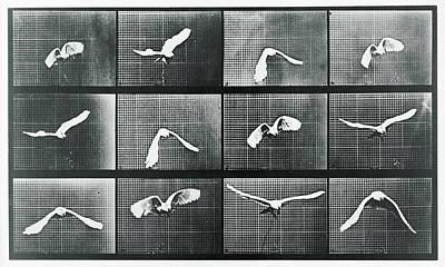 Time Lapse Motion Study Bird Monochrome  Poster by Tony Rubino