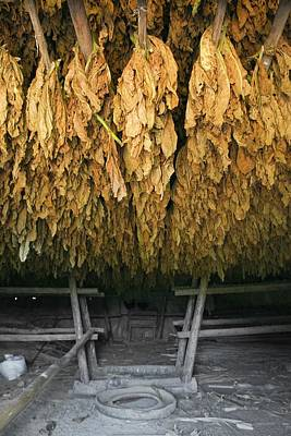 Tobacco Drying Room, Cuba Poster by Science Photo Library