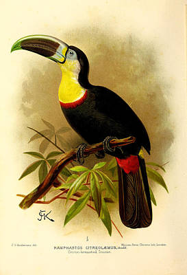 Toucan Poster by J G Keulemans