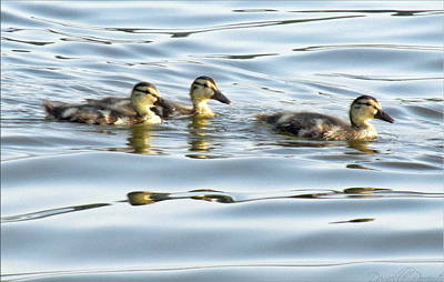 Three Ducklings Swimming At Cootes Paradise Poster by Danielle  Parent