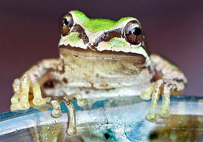 Tree Frog Poster by Jean Noren