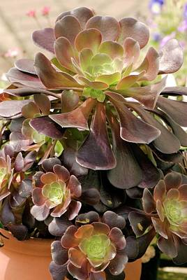 Tree Houseleek (aeonium Arboreum) Poster by Adrian Thomas
