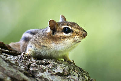 Tree Surfing Chipmunk Poster by Christina Rollo