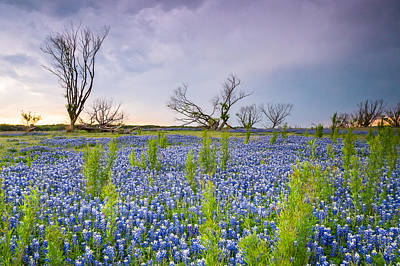 Trees And Bluebonnets On A Stormy Day - Wildflower Field - Horizontal  Poster by Ellie Teramoto
