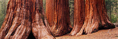 Trees At Sequoia National Park Poster by Panoramic Images