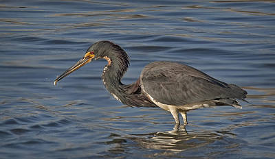 Tri Colored Heron Fishing Poster by Susan Candelario