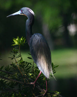 Tricolored Heron 16x20 Poster by David Lynch
