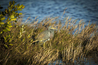 Tricolored Heron Hunting Merritt Island Florida Poster by Rich Franco