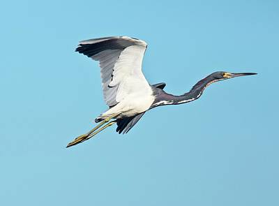 Tricolored Heron In Flight Poster by Bob Gibbons