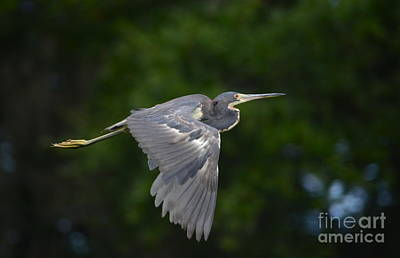 Tricolored Heron In Flight Poster by Kathy Gibbons