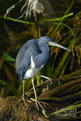 Tricolored Heron Poster by Mark Newman
