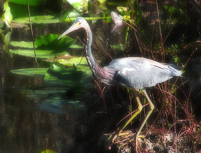 Tricolored Heron  Poster by Rudy Umans