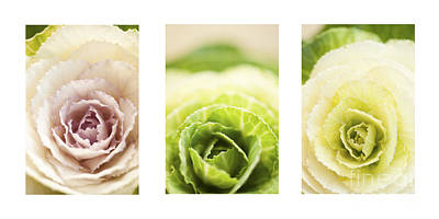 Triptych Of Ornamental Cabbages Poster by Anne Gilbert