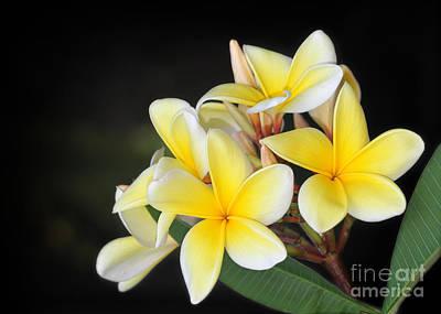Tropical Yellow Frangipani Poster by Sabrina L Ryan