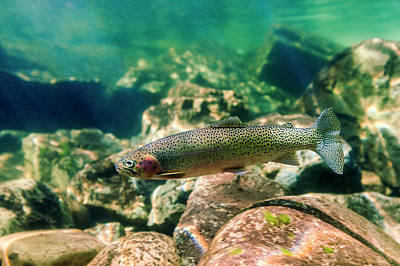 Trout In The Locsa River, Idaho Poster by James White