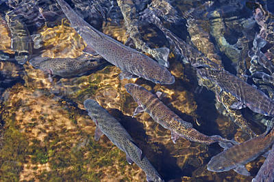 Trout Prints Rainbow Lake River Trout Poster by Baslee Troutman