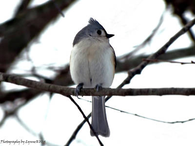 Tufted Titmouse 1 Poster by Gena Weiser