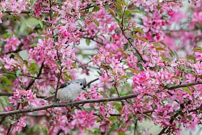 Tufted Titmouse In A Pear Tree Poster by Bill Wakeley