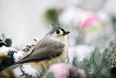 Tufted Titmouse Portrait Poster by Christina Rollo