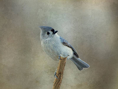Tufted Titmouse Watching Poster by Sandy Keeton