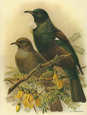 Tui Poster by J G Keulemans