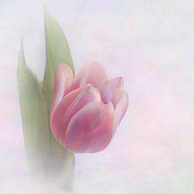 Tulip Blush Poster by David and Carol Kelly