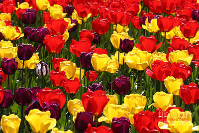 Tulip Colors Poster by Tap On Photo